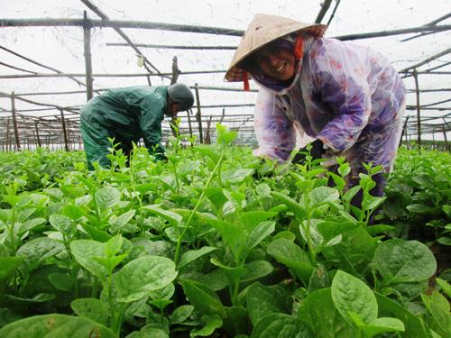 Nông dân nhiều nơi đang hối hả thu hoạch rau. Ảnh: HOÀI NHI