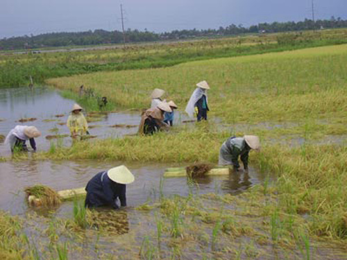 Nhọc nhằn gặt lúa ngày mưa lũ. Ảnh Internet.