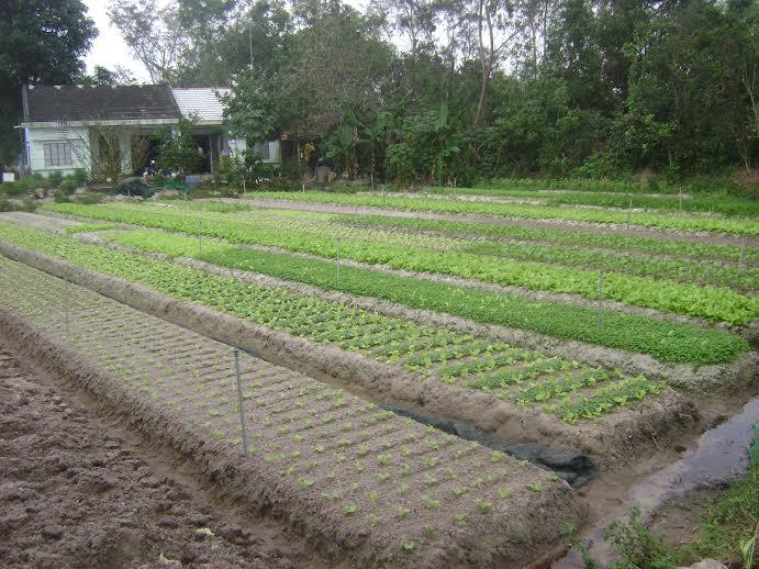 Một mô hình trồng rau sạch tại Thăng Bình. Ảnh: M.DUNG