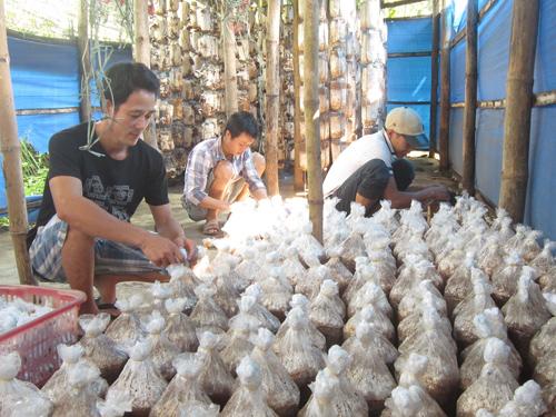 Sản xuất nấm tại HTX Sản xuất nấm Nhì Tây (xã Bình Lâm). Ảnh: D.THÁI