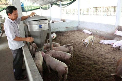 Nuôi heo trên đệm lót sinh thái mở ra hướng chăn nuôi công nghiệp ở Núi Thành.