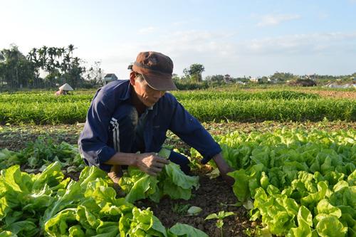 Huyện Điện Bàn có khoảng 200ha đất chuyên canh trồng rau trong vụ tết. Ảnh: K.L