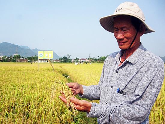 Một cánh đồng mẫu lớn ở Quảng Nam.Ảnh: MAI LINH
