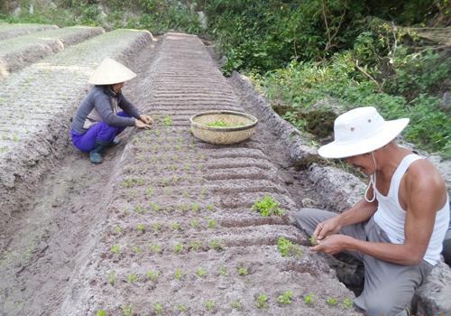 Vợ chồng ông Trịnh Thanh Giang lên luống cấy tần ô.Ảnh: L.A