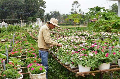 Chăm sóc hoa để kịp phục vụ tết. Ảnh: VĂN VIỆT