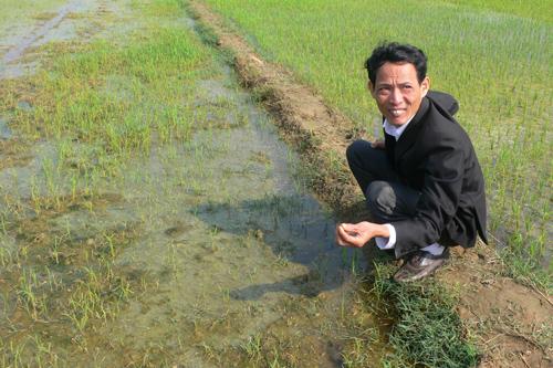 Lúa tàn lụi, gốc đen xảy ra ở nhiều đồng ruộng xã Cẩm Kim. Ảnh: Q.H