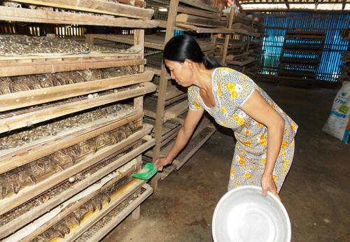 Mô hình nuôi chim cút của bà Trần Thị Tuyết đem lại hiệu quả kinh tế cao. Ảnh: T.T
