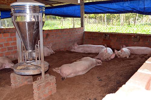 Mô hình nuôi heo trên đệm lót sinh thái của ông Minh.