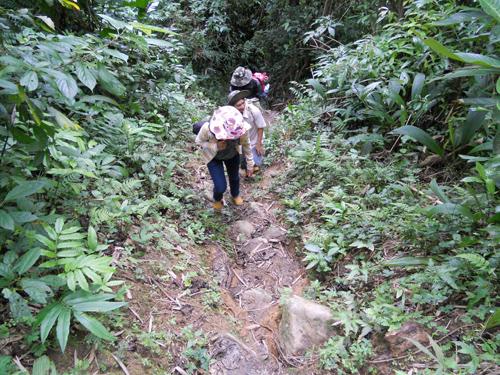Đường vào vườn sâm ở xã Trà Linh.                            Ảnh: LÊ GÀNH