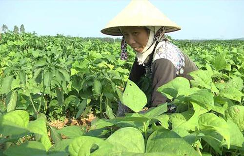 Bà Phan Thị Hường chăm sóc cây đậu cô ve xen bắp trên bãi bồi ven sông thôn Lệ Bắc. Ảnh: C.NGUYỄN