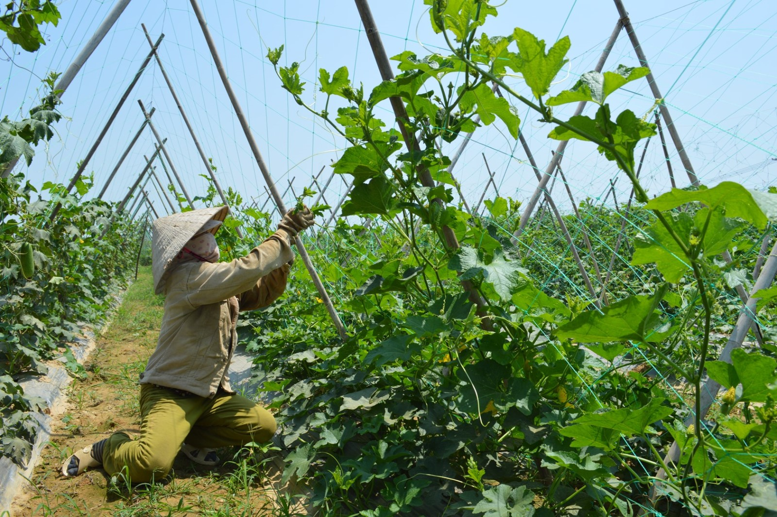 Nông dân làng rau Bàu Tròn vào vụ sản xuất.