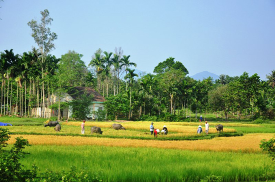 Những cánh đồng lên xanh nhờ bàn tay cần mẫn của người Tiên Lãnh.Ảnh: GIANG ANH