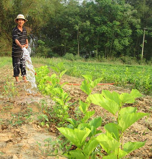 Những cây dâu được vun trồng tại xã Duy Trinh (Duy Xuyên) - nhằm phục hồi làng nghề theo hướng nuôi tằm thương phẩm.Ảnh: LÊ QUÂN