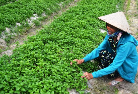 Gia đình bà Võ Thị Thuận trồng rau sạch.             Ảnh: V.Quang