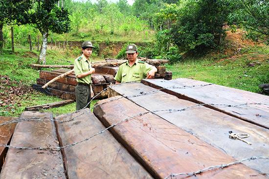 Cán bộ kiểm lâm kiểm kê số gỗ khai thác trái phép tại rừng đặc dụng Bà Nà - Núi Chúa. Ảnh: H.P
