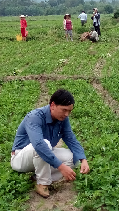 Mô hình trồng đậu phụng xen sắn mang lại hiệu quả khả quan cho nông dân huyện Nông Sơn. Ảnh: H.Y
