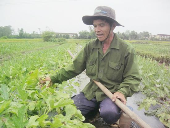 Ông Trương Văn Ngôn (thôn Cẩm Khê, Tam Phước) bên ruộng dưa bị vàng lá, héo ngọn do tác động của đợt mưa cuối tháng 3 vừa qua. Ảnh: VĂN HÀO