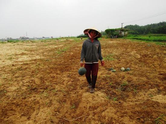 Đầu tháng 4, vùng dưa hấu phía bắc của tỉnh đã thu hoạch xong.