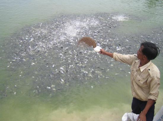 Từ nguồn vốn của Ngân hàng Chính sách xã hội, nhiều người dân đã đầu tư các mô hình nuôi trồng thủy sản hiệu quả. TRONG ẢNH: Mô hình nuôi cá chẻm ở Tam Hòa, Núi Thành. Ảnh: MINH ĐỨC