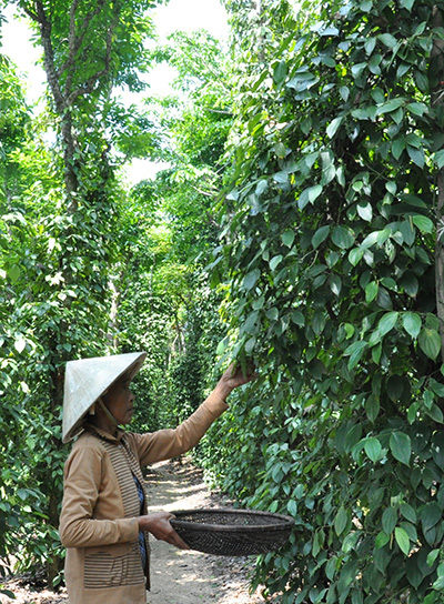 Cây tiêu đang là một trong những thế mạnh phát triển kinh tế tại thôn Lâm Môn, xã Tam Vinh (Phú Ninh). Ảnh: TAM THĂNG