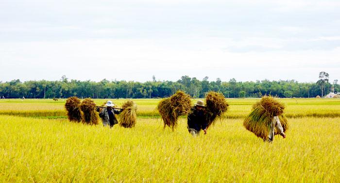 Gánh lúa vàng. Ảnh: Nguyễn Tuấn.
