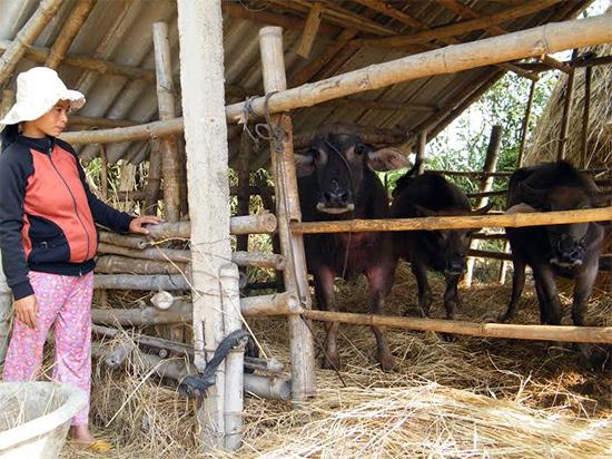 Chị Võ Thị Hồng xã Bình Quý nuôi trâu thoát nghèo nhờ nguồn vốn vay
