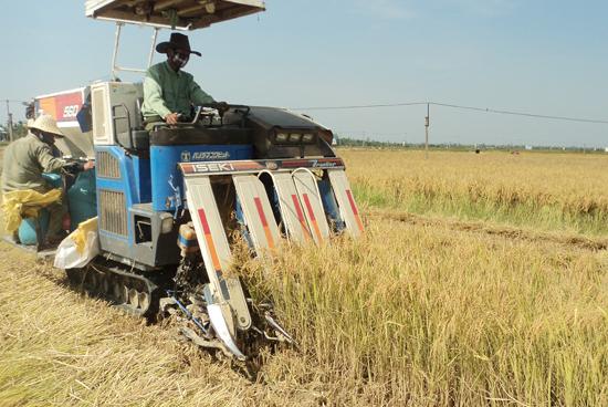 Hầu hết diện tích lúa ở Điện Bàn đều được thu hoạch bằng máy móc. Ảnh: PHẠM LỘC