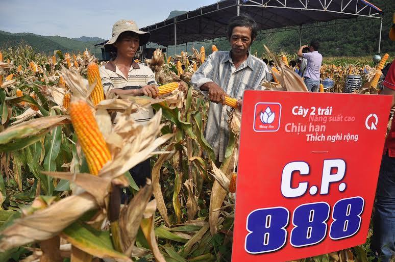 Người dân Nông Sơn với mô hình trồng thử nghiệm giống ngô CP888. Ảnh: VINH ANH