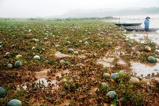 Lũ lụt bất thường khiến nhiều vùng trồng dưa dọc sông Vu Gia - Thu Bồn bị thiệt hại nặng. Ảnh: T.H