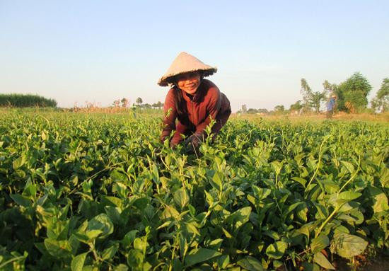 Địa phương đang phát triển lĩnh vực nông nghiệp theo hướng xanh - sạch và bền vững. Ảnh: H.N