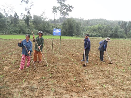 Nông dân chuyển đổi cây trồng từ những chân ruộng lúa thiếu nước sang trồng bắp. Ảnh: H.Y