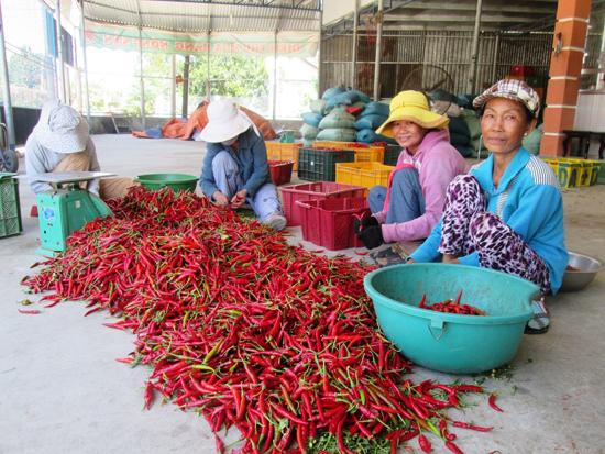 Khi không còn liên kết với doanh nghiệp, sản phẩm ớt của nông dân vùng Gò Nổi hết sức bấp bênh về đầu ra.