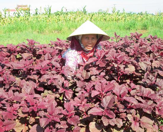 Dự án rau VietGap thất bại nên người dân xã Duy Phước quay lại sản xuất rau thông thường.