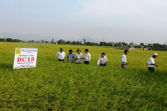 Trước nhu cầu của nhiều doanh nghiệp, thời gian tới các địa phương sẽ mở rộng thêm 2-3 nghìn héc ta đất chuyên sản xuất giống lúa.  Ảnh: V.SỰ