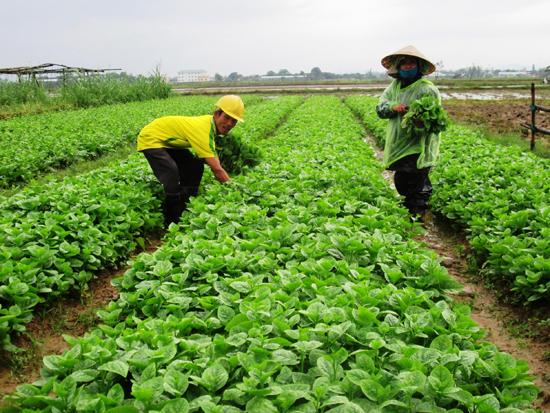 Nhà nông rất cần thông tin định hướng thị trường để chủ động sản xuất. Ảnh: V.SỰ