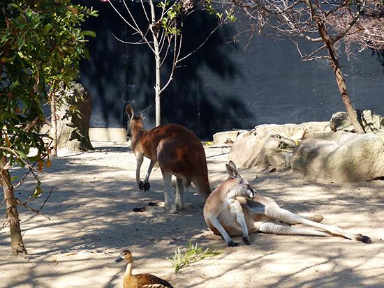 Chỉ nước Úc mới có Kangaroo (tức chuột túi).