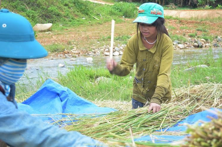 Tại những thửa ruộng làm trái vụ, người dân thu hoạch hạt lúa theo cách thủ công.