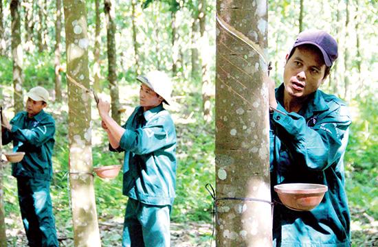 Với chiến lược phát triển cây cao su, huyện Nam Giang đã tạo việc làm, thu nhập ổn định cho người dân. Ảnh: A Lăng Ngước
