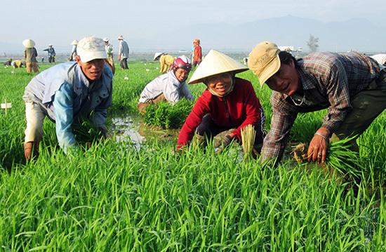 Nhờ tích cực dồn điền đổi thửa nên Quế Sơn đã hình thành được hàng loạt cánh đồng mẫu sản xuất giống lúa hàng hóa.Ảnh: Văn Sự