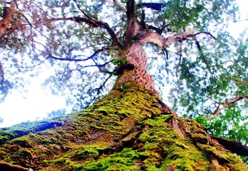 The population of hundreds- year- old po mu trees in Axan and Tr'Hy communes, Tay Giang district, Quang Nam province. Picture: Tien Hung