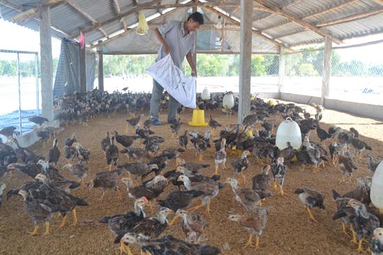 Các mô hình chăn nuôi gà và heo trên đệm lót sinh học của gia đình ông Lê Trung Đức và bà Ngô Thị Thiệm. Ảnh: V.QUANG