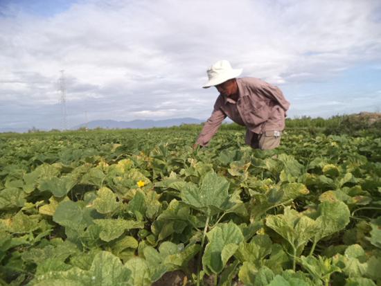 Nông dân chăm sóc ruộng dưa chuẩn bị thu hoạch.
