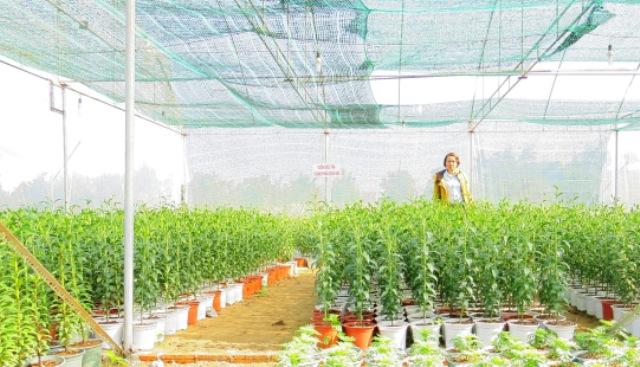Vườn điều tra dịch hại trên cây lily tại Hội An. Hoàng Liên