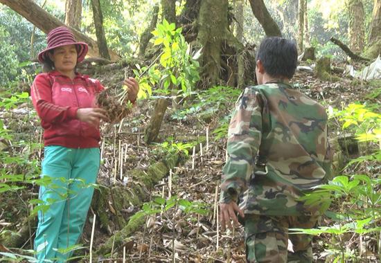 Chị Hồ Thị Hai đang thu hoạch củ sâm Ngọc Linh đưa đi bán. Ảnh: H.T