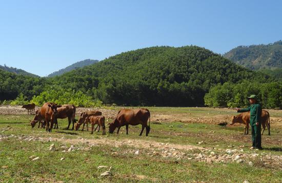 Cựu TNXP Nguyễn Văn Minh đã giúp đỡ nhiều đồng đội bò giống  để vượt khó thoát nghèo. Ảnh: V.CÔNG