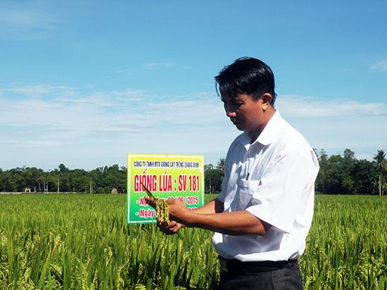 Tham quan mô hình trình diễn giống lúa thơm SV181 tại xã Tam Thành, huyện Phú Ninh.Ảnh: M.Linh