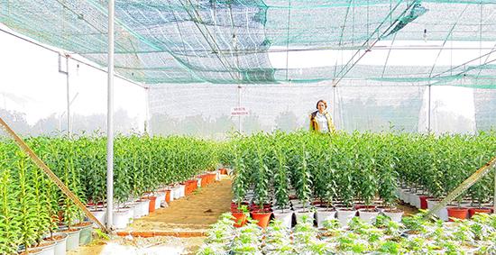 Mô hình vườn điều tra thành phần dịch hại trên cây lily tại Hội An. Ảnh: Hoàng Liên