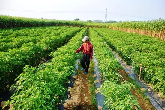 Mô hình trồng ớt và hoa lily ở Tam Ngọc cho hiệu quả kinh tế cao. Ảnh:  TRẦN HỮU