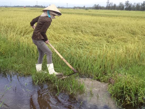 Khơi đường thoát nước cho ruộng lúa bị ngập úng. Ảnh: Đ.N