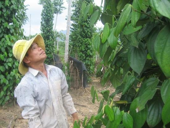Mô hình tiêu trên 100 choái của anh Nguyễn Phúc Vinh, thôn Phú Vinh ( Tiên Hà)